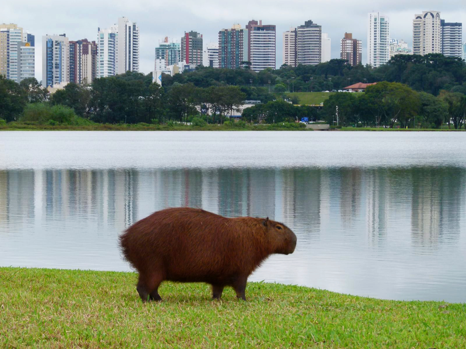 Aforementioned Capivara