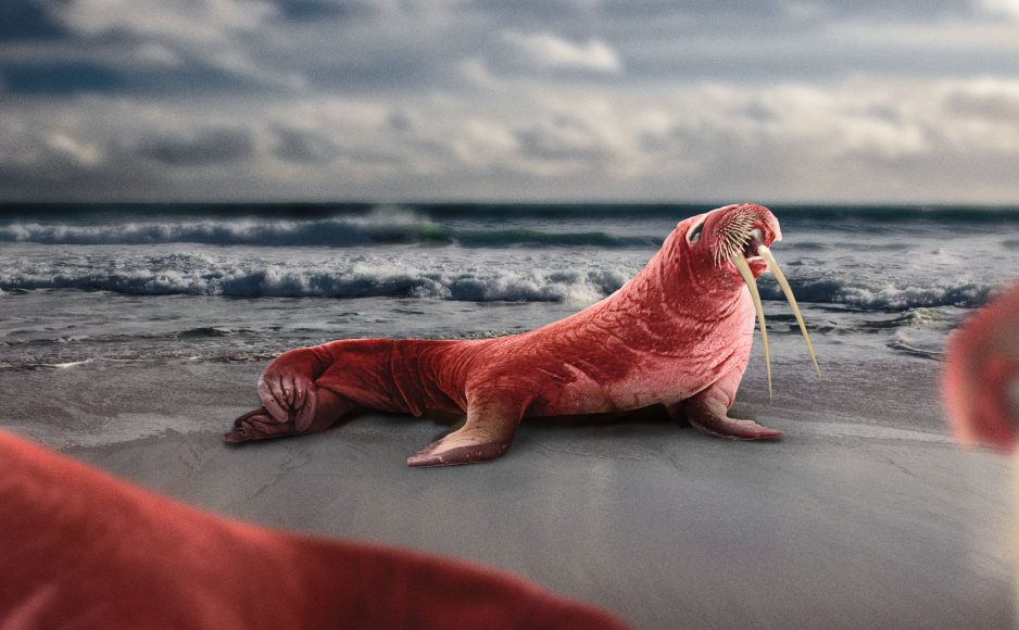 The walrus is pink in colour due to perfused blood vessels. They have a long and thin hide, googly eyes and two dagger sharp sabres protruding from their jaw. This image is part of a series commissioned by Bulb, the UK's biggest green energy company, based on predictions by naturalist, Steve Backshall. The series shows how five land and sea animals might adapt over the next 100 years in order to avoid extinction due to ongoing carbon emissions and unsustainable habits. Artwork created by pre-vis studio Three Blind Mice with Neil Duerden.